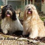 """""""Kaama-puku"""" (Tibet Terrier) PLZ 76833"""