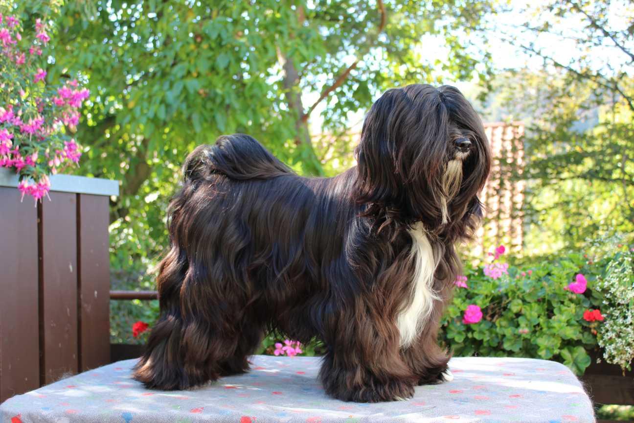 Tibet Terrier Internationaler Club Fur Lhasa Apso Und Tibet