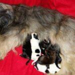 """""""du joyeux Berger"""" (Tibet Terrier) PLZ 16559"""