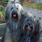"""""""Rangshi"""" (Tibet Terrier) PLZ 41748"""