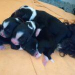""""""" Li-kha-ra"""" (Tibet Terrier) PLZ 67454"""